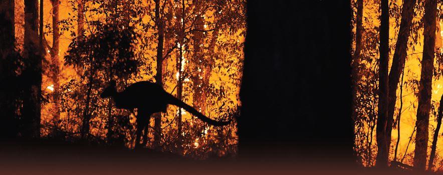 קנגורו לכוד באחד מאזורי השריפה באוסטרליה, בחודש שעבר // צילום: Brett Hemmings Getty Images IL